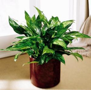 Chinese Evergreen by Angel Lucys Funeral Florist - Victoria, TX