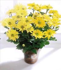 Daisy Chrysanthemum (Lg) by Angel Lucys Funeral Florist - Victoria, TX