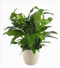 """Peace Lily"" Spathiphyllum Plant by Angel Lucys Funeral Florist - Victoria, TX"